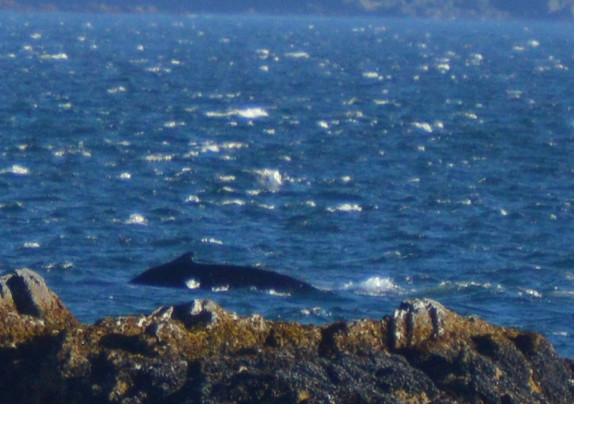 orca%20kodiak